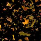 'Autumn Fall Leaves Frontal - Black BG' - Realistic Fallling Foliage Motion Background Loop-Sample2